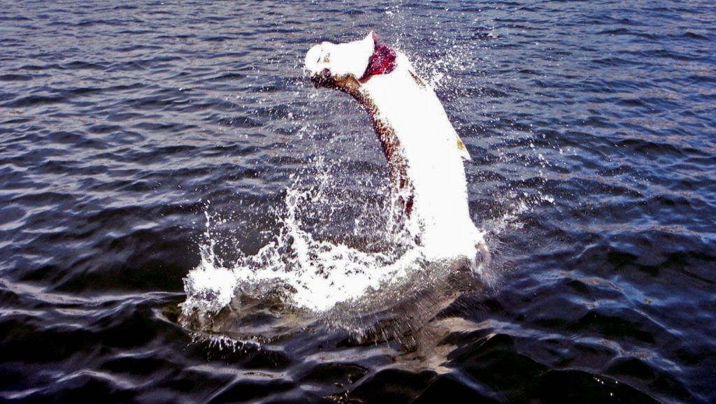 A Tarpon jumping out of the water while be hooked to a fishing line in Tampa Bay