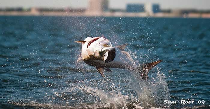 tampa tarpon fishing charters tarpon hooked up